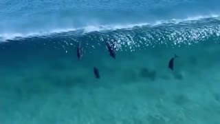 dolphins swimming in australia
