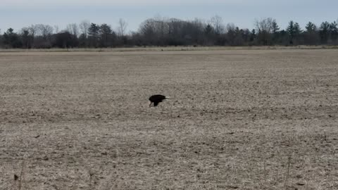Bald Eagle Eating in Field