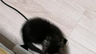 Kitten plays with tail