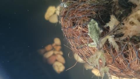 More Underwater Froglet Tadpole Video