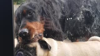 Pair Of Silly Dogs Can't Stop Licking Window
