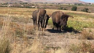 Two Bison at Bison Range, Montana