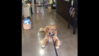 Dog Does Not Want To Leave Pet Store