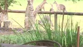 Sparring kangaroos duke it out on camera
