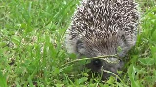 Hedgehog looking for lunch