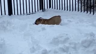 Happy doggies play together in the Alaskan snow