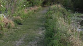 Large alligator crossing .....