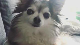Small Dog Licking HimSelf