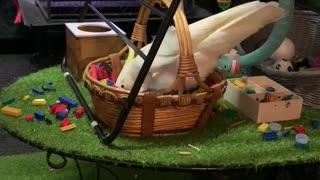 Crazy cockatoo makes gigantic mess with basket of Leggos