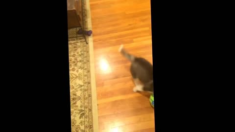 8 week old baby Husky playing with a Wobble Wag Giggle Ball