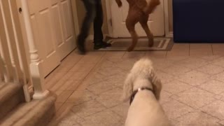 Golden Doodle's are Excited to see Keegan