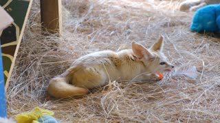 a young cub fox eating in a bed of hays1
