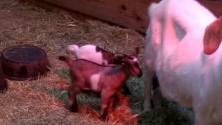 Kuntry Livin Farm - Baby Goats