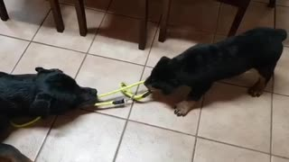 Rottweiler doing what they do best...