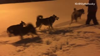 Husky dogs enjoying playing in the snow at night