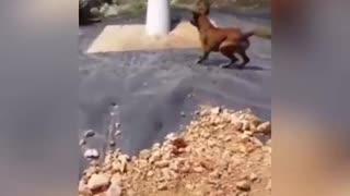 Crocodile eats a dog