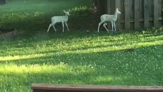 Deer Brings Albino Fawns for Daily Visits