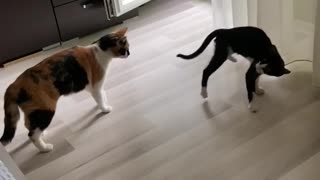 So funny! Kitten Remi plays with older sister Sammy