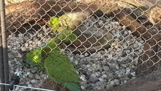 Parrots taking turns bathing