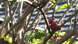 # Back Yard Birds Hawai'i Red Whiskered Bulbul