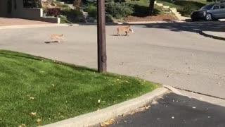 Bobcat Caught a Rabbit