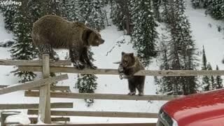Bears Balance On Fence