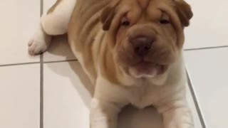 Shar Pei puppy adorably confused by treat