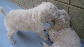 Petite Lizzy Pup