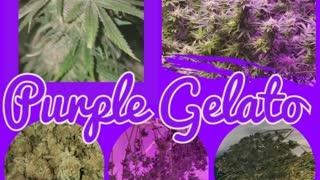 Cannabis grow 2020 Pruple Gelato
