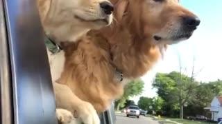 Funniest & Cutest Golden Retriever Puppies, funny compilation