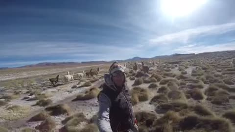 Wild Alpacas in Andes Mountains