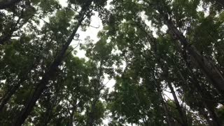 Forest with sound of wind