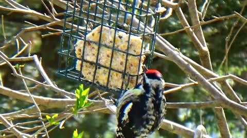 Sapsucker Woodpecker