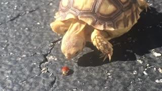 Tortoise Tries to Catch Ladybug