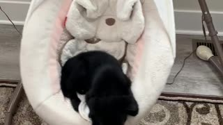 Sleepy puppy decides to nap in the baby's swing
