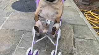 Toddler Takes Pug for A Stroller Ride