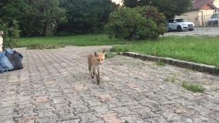 Cute Fox Comes in Close