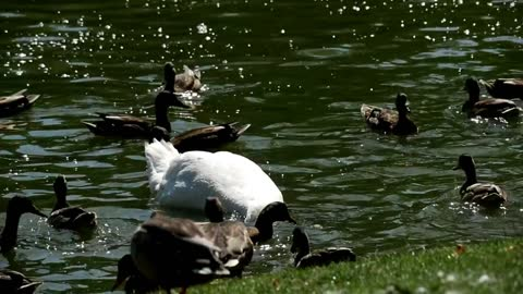 Ducks and a swan in a lake - With quiet music
