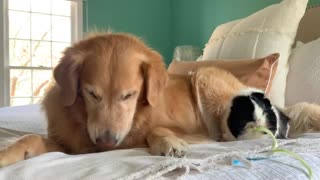 """Dog And Guinea Pig Share """"Zoodles"""" Together"""