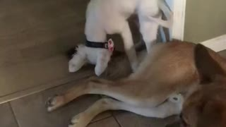 Puppy playing with German Shepard's tail