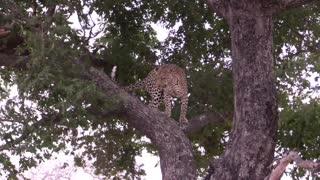 Mother Leopard teaching her cub
