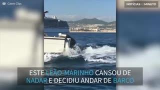 Leão-marinho pega carona em embarcação