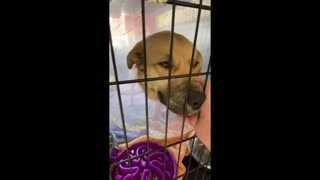 Rescue dog just wants cuddles after his leg is amputated ✔