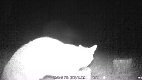Fox on a Stump, eating Seeds!