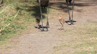 Sandhill Crane Chicks walking with their Parents