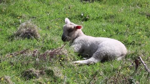 Cute lying lamb