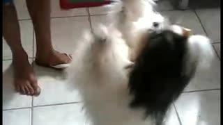 Shih-tzu dancing