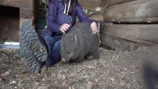 Wombat Cuddles at Trowunna Wildlife Sanctuary