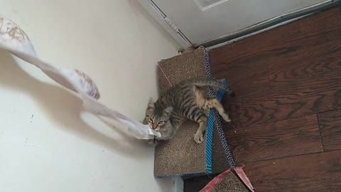 """F2 Savannah Cat """"Invader Zim"""" Has a Bra weirdness"""