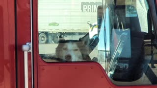 Husky Dog Waiting On Trucker Buddy